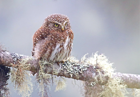 Yungas Pygmy Owl