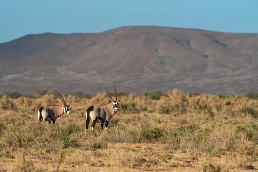 Southern Oryx