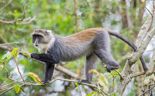 White-throated Blue Monkey