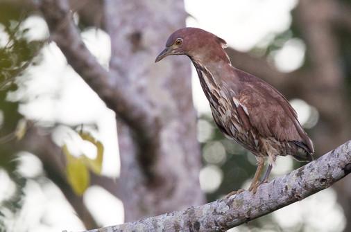 Japanese Night Heron