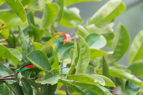Sri Lanka Hanging-Parrot