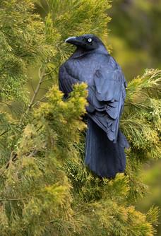 Torresian Crow PB109826.jpg