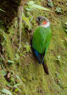 White-necked Parakeet