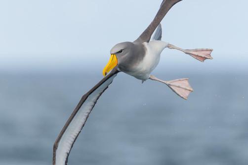 Chatham's Albatross