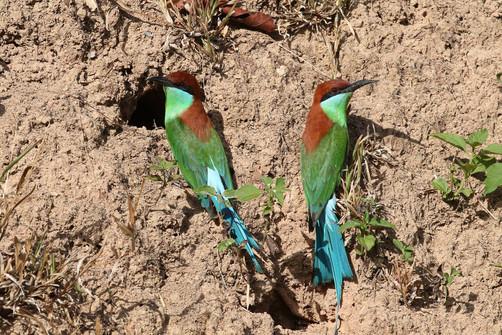 Rufous-crowned Bee-eater