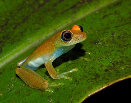 Green Bright-eyed Frog