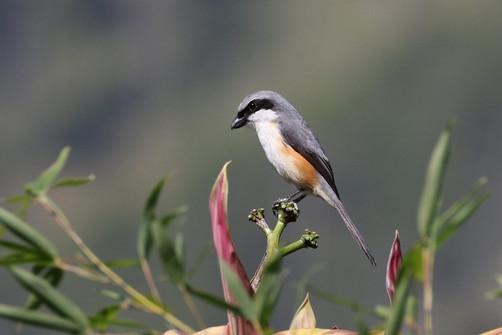 Moutain Shrike
