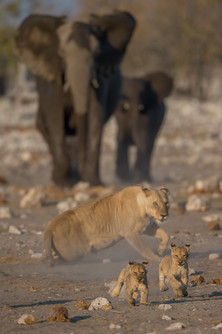 African Lion and African Elephant