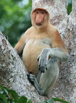 Proboscis-Monkey-for-Borneo-Sidebar-Iain.jpg