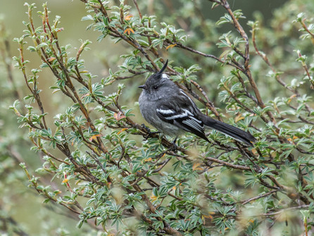 Ash-breasted Tit-Tyrant