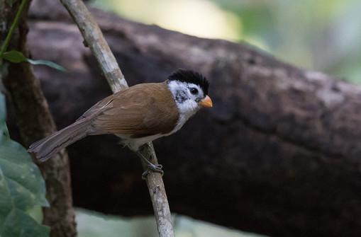 Black-headed Parrotbill