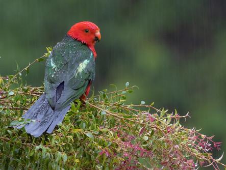 Australian King-Parrot PB018603_edited.jpg