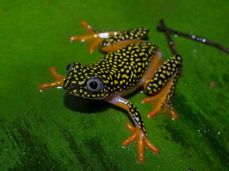 Starry Night Reed Frog