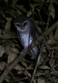 Sooty Owl PA307925.jpg