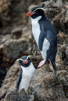 Snare's Penguin