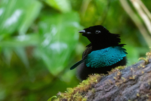 Vogelkop Lophorina