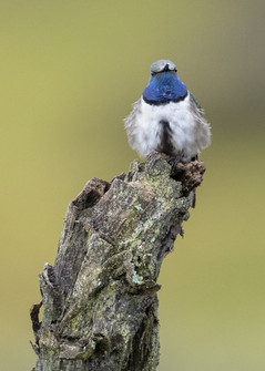 Blue-throated Hillstar