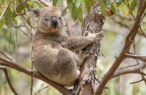 Koala PB028830.jpg