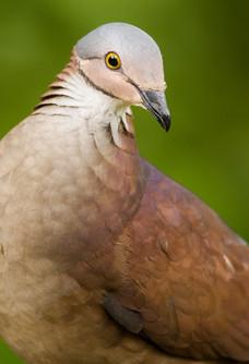 White-throated Quail-dove