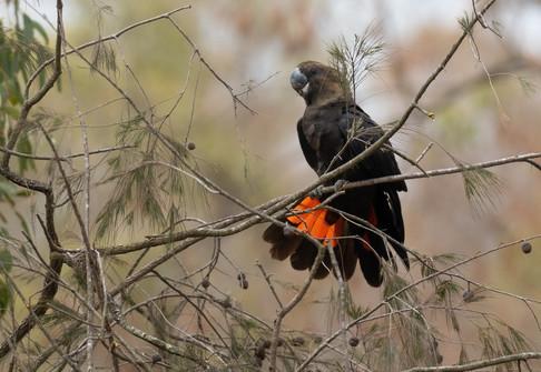 Red-tailed Black-Cockatoo PA318436.jpg