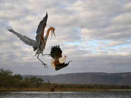 Goliath Heron and African Fish Eagle