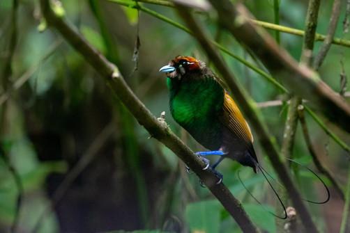 Magnificent Bird of Paradise