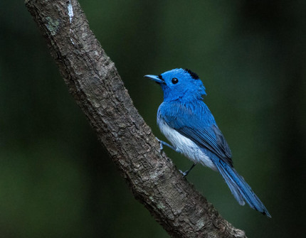 Blue-naped Monarch