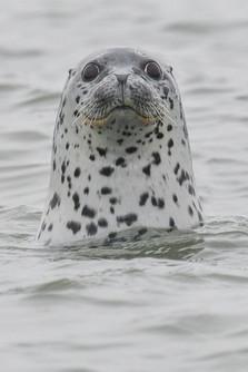 Largha Seal