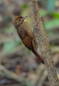 Tawny-winged Treecreeper