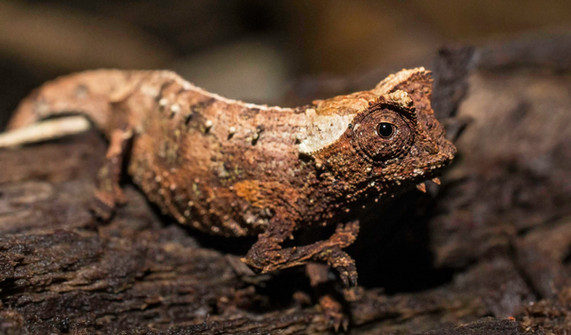 Rainforest Leaf Chameleon