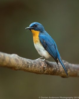 Indochinese Blue Flycatcher