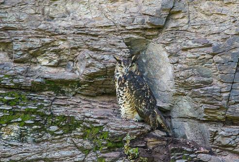 """""""Mackinder's"""" Cape Eagle-Owl"""