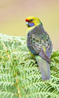 Green Rosella BU5D8813.jpg