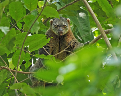 Sulawesi Bear-Cuscus