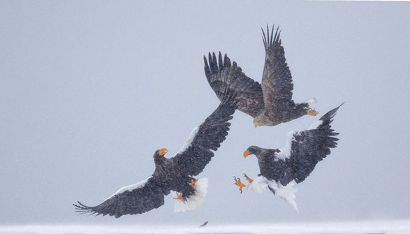Steller's Sea and White-tailed Eagles
