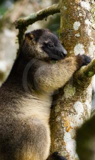 Lumholtz's Tree Kangaroo
