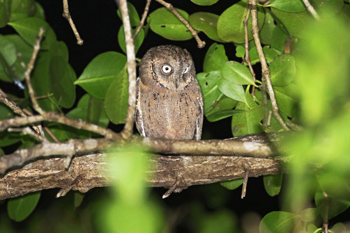 Mantanani Scops-Owl