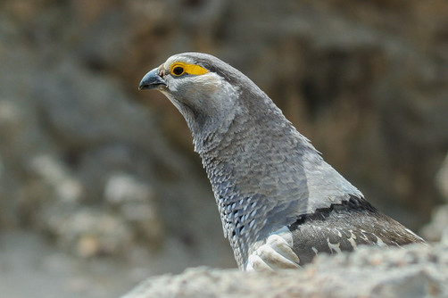 Altai Snowcock