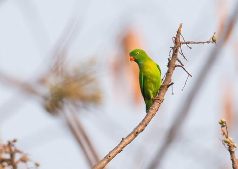 Vernal-hanging Parrot