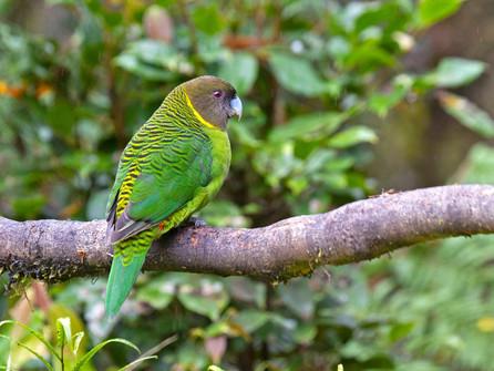 Brehm's Tiger-Parrot