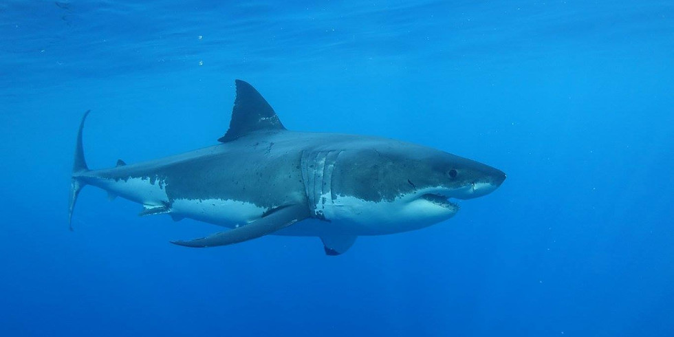 Project Aware Shark Conservation Certificate