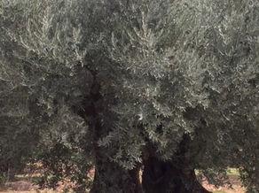 ドメーヌ・サルヴァトール社の450年以上生きるフランスオリーブ品種の木