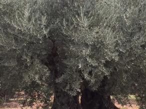 ドメーヌ・サルヴァトール社の400年以上生きるフランスオリーブ品種の木