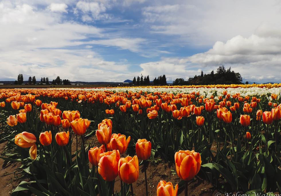 Orange Tulip WM.jpg