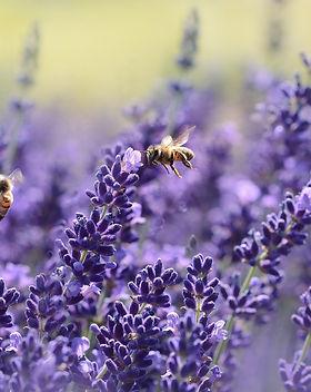 Baumscheibe Lavendel Pixabay.jpg