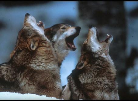 The Howling Wolves