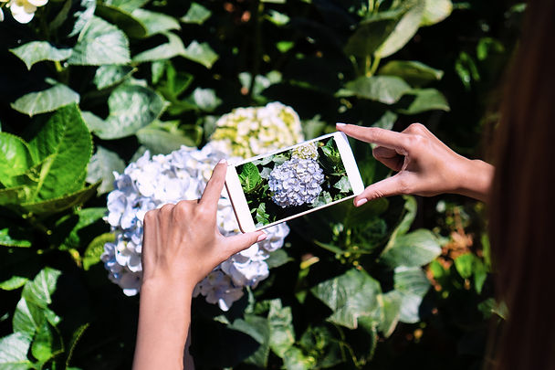 tourist-take-a-photo-of-hydrangea-flower