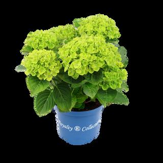 Royalty® Green Cloud