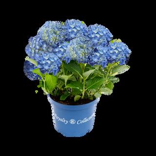 Royalty® Fabolo Blue