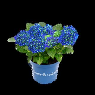 Royalty® Blue Bells